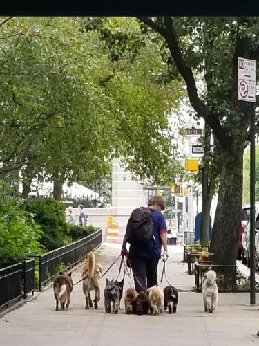 Dog Walker on 5th Avenue